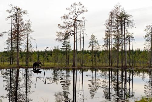 قدم زدن یک خرس در حاشیه دریاچه ای در فنلاند