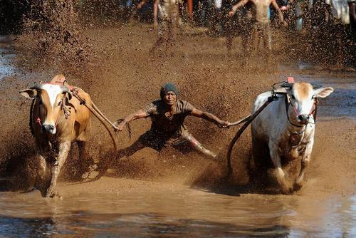 مسابقات سنتی گاورانی در اندونزی
