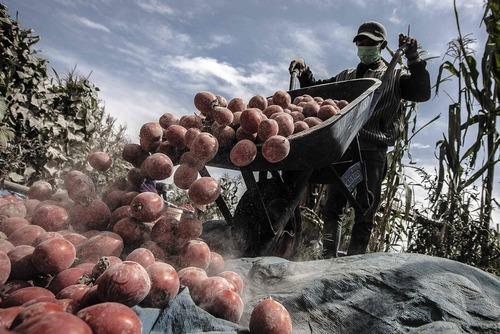 غبارهای آتشفشانی روی گوجه های یک مزرعه در کارو اندونزی