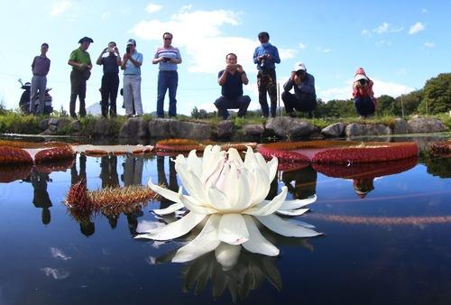 توریست ها در حال عکس گرفتن از یک گل نیلوفر آبی – کره جنوبی