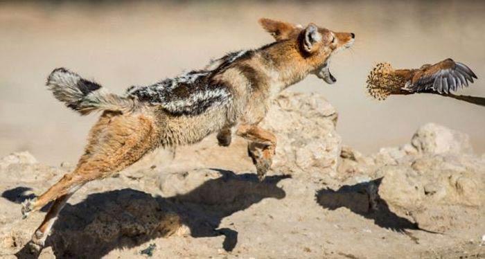 تصاویری جالب از حمله ناکام یک شغال به دسته پرندگان
