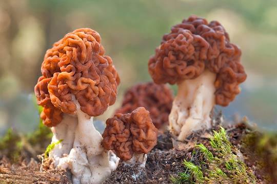 شکل عجیب خطرناک ترین قارچ دنیا + تصاویر