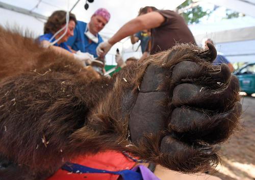 جراحی روی دندان یک خرس قهوه ای – آلمان