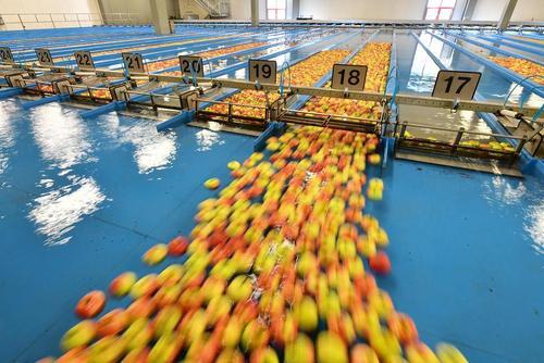 شستشوی سیب در یک کارخانه آب میوه در آلمان