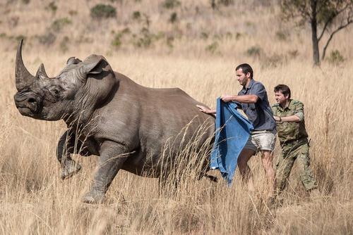 تلاش برای نصب یک میکرو تراشه روی بدن یک کرگدن در پارک ملی پیلانسبرگ در آفریقای جنوبی