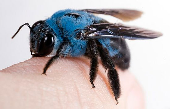 از زنبور نجار آبی چه می دانید؟