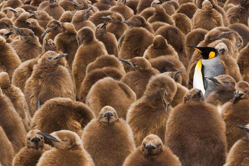 اجتماعی از پنگوئن های امپراتور – مجمع الجزایر فالکلند یا مالویناس در اقیانوس اطلس