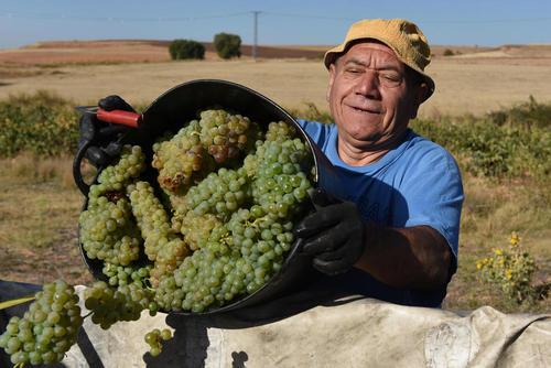 برداشت انگور – اسپانیا