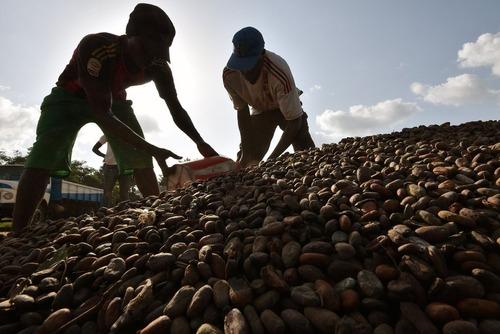 کارگران در حال کیسه کردن دانه های محصول کاکائو – ساحل عاج