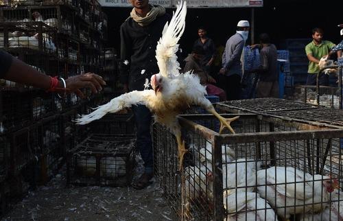 بازار فروش ماکیان زنده در دهلی نو