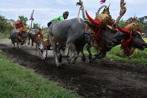 مسابقه سنتی گاورانی در بالی اندونزی
