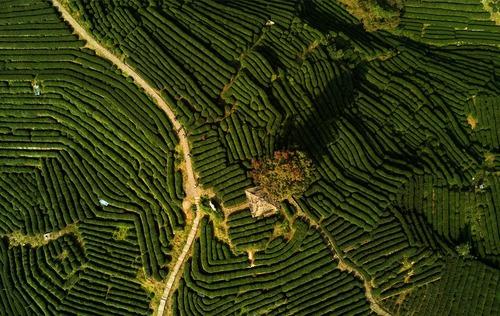 مزارع چای در روستای لونگ جینگ در استان ژجیانگ چین