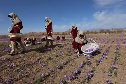 زمین های کشت زعفران در هرات افغانستان