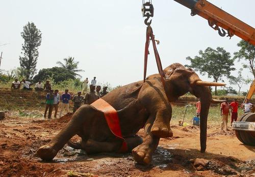 عملیات جابجایی یک فیل مجروح در بنگلور هند