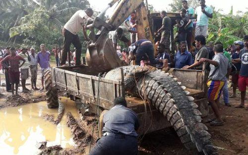 گرفتن یک کروکودیل بسیار عظیم الجثه در شهر ماتارا در جنوب سریلانکا