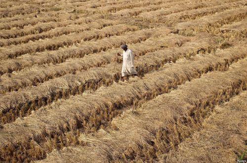 قدم زدن یک کشاورز در یک شالی برنج در جامو هند