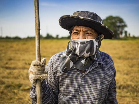 یک کارگر شالی در فصل برداشت برنج در تایلند