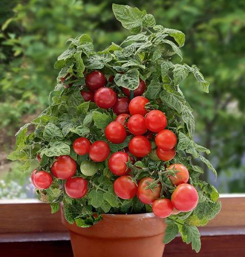 روش کاشت گوجه فرنگی در منزل