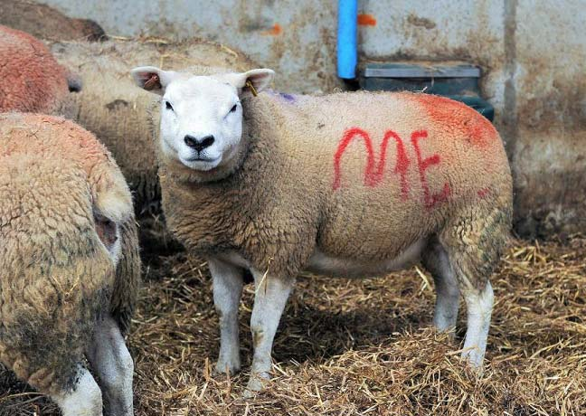 خواستگاری عجیب با گوسفند! + تصاویر