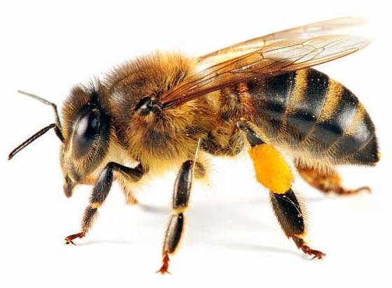 تفاوت زنبور قرمز با زنبور عسل