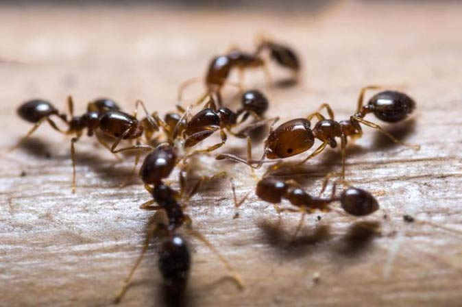 روش های ساده برای دفع مورچه ها از آشپزخانه