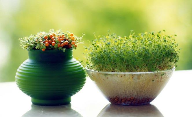 کاشت سبزه کنجد بهترین زمان برای کاشت سبزه عید نوروز