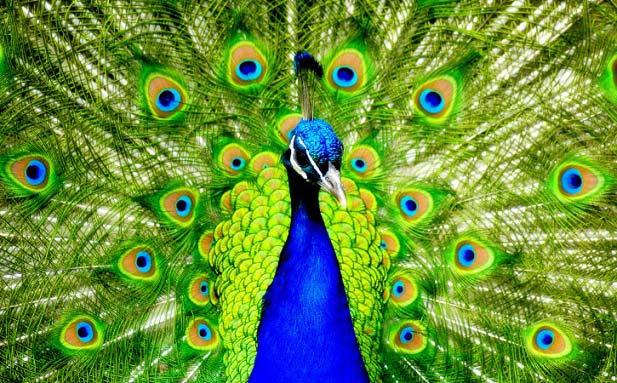 قصه کودکانه ماجرای طاووس و کلاغ