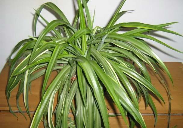 روش نگهداری و تکثیر گیاه گل گندمی