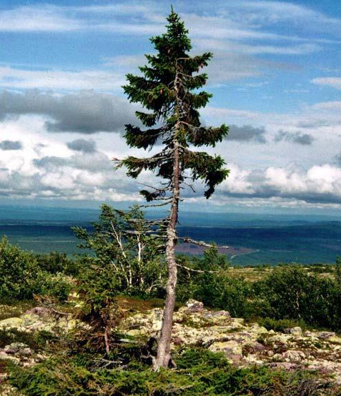 قدیمی ترین درخت جهان از عصر یخبندان + عکس