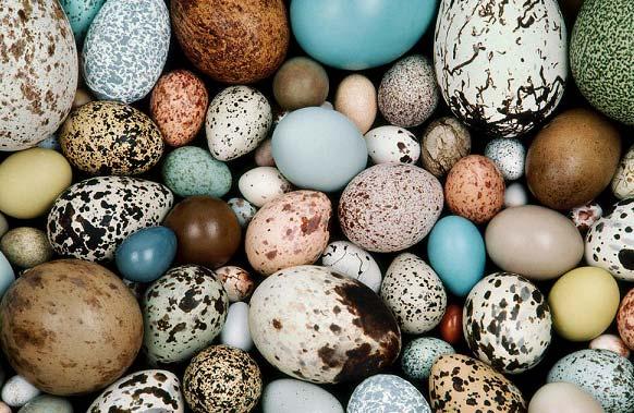تخم کدام پرنده ارزش تغذیه ای بالاتری دارد؟