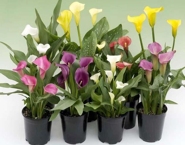 روش نگهداری گل شیپوری در منزل