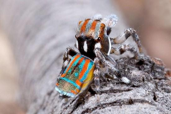 زیباترین عنکبوت جهان + تصاویر