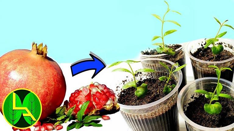 آموزش کاشت انار در گلدان