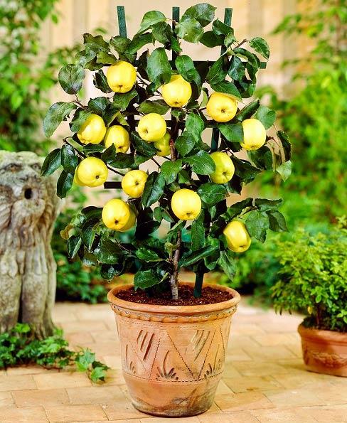 مراحل کاشت هسته سیب در گلدان