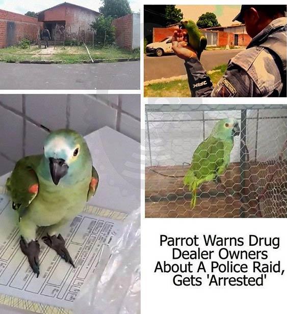 طوطی که به جرم همکاری در فروش مواد دستگیر شد! + عکس