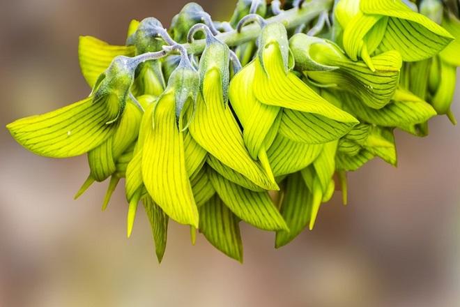 گل های این گیاه شبیه مرغ مگس خوار است! + تصاویر
