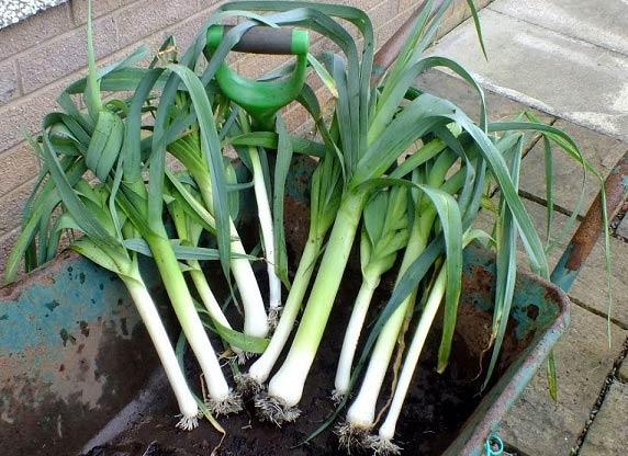 آموزش کاشت سبزی در گلدان