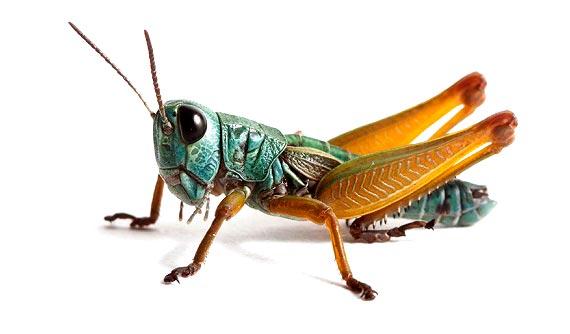 حکم شرعی خوردن حشرات