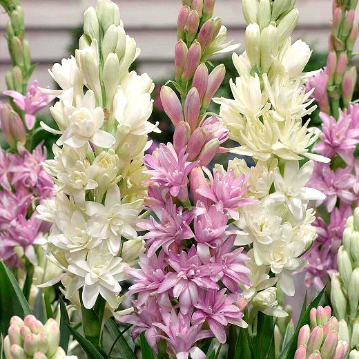 آشنایی با نحوه نگهداری گل مریم