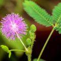 نکاتی در مورد گل قهر و آشتی