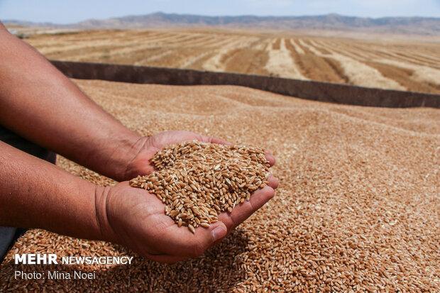 پیش بینی خرید 250هزار تن گندم با نرخ تضمینی در استان همدان